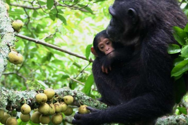 photo credit: The ability of chimps to pinch and squeeze figs could help explain why humans have such impressive dexterity. Alain Houle