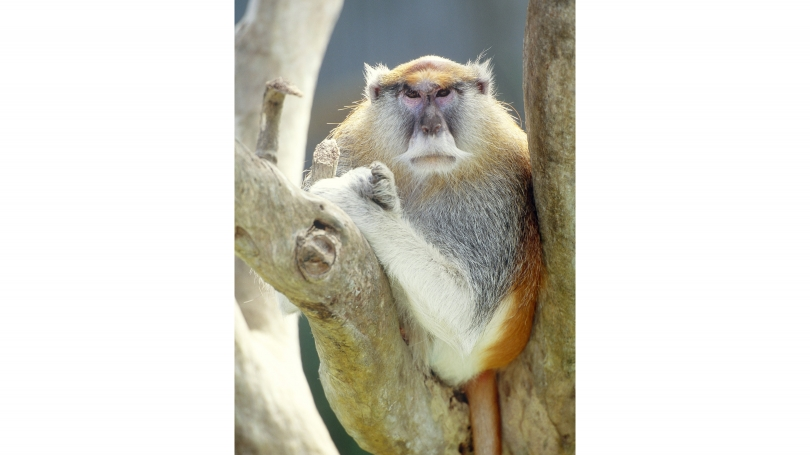 a_patas_monkeycreditart_wolfe_science_source_web_2.jpg