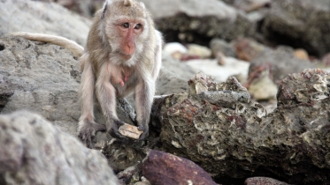 Macaque demonstrating stone tool use (Amanda Tan)