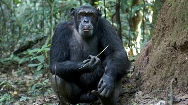 Goualougo Chimp