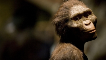 Australopithecus afarensis (Image courtesy of The Independent)