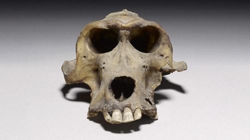 Mummified baboon skull