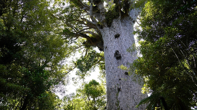 Tāne Mahuta (largest kauri tree) - Anthropology FSP New Zealand 2020