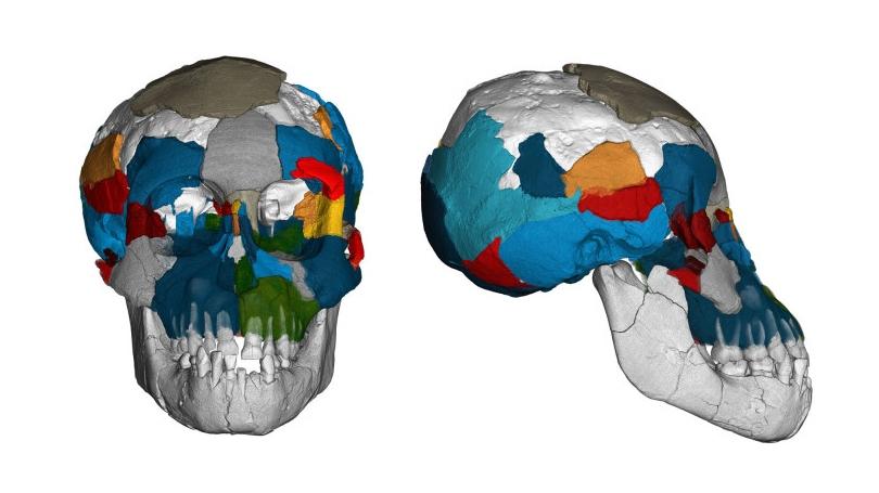 Scans of the Australopithecus afarensis skull. (Image: Philipp Gunz, MPI EVA Leipzig)
